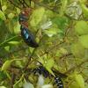 Bluebottle wasp