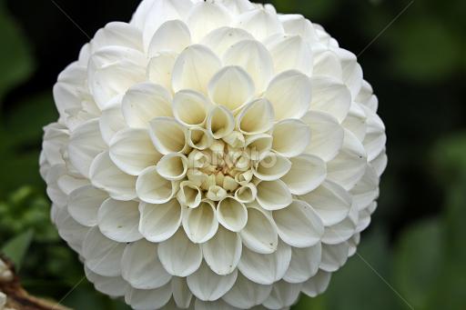 Round single flower flowers pixoto round by martyn bennett flowers single flower colour petals white round mightylinksfo