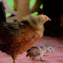 Domesticated Chicken