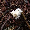 Crested coral fungus