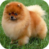 Where's My Pomeranian Games