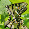 Eastern Tiger Swallowtails Mating