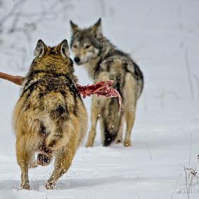 The Recyclers by David Johnson - Animals Other Mammals ( minnesota, grand marais, wolf, bwcaw, pack, running, deer,  )