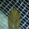 Oblique-banded Leafroller Moth