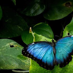 Blue by Dale Versteegen - Novices Only Wildlife ( butterfly, novice, kit lens, canon t3i,  )