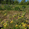 Sulphur Buckwheat