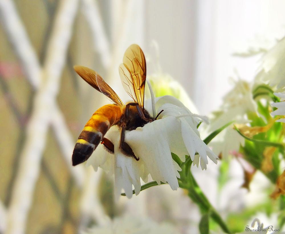 Rock Bee