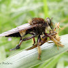 Robber fly eating a cricket