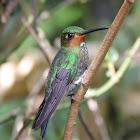 Green-crowned Brilliant (Juvenile)