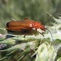 Red soldier beetle. Soldadito Rojo