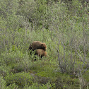 North American Brown Bear / Grizzly Bear
