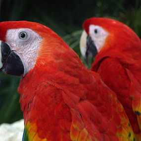 two parrots by Jacob Hoedl - Animals Birds ( bird, red, mexico, parrot, tropical )