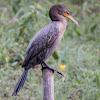 Biguá, Neotropic Cormorant