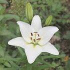White Lily (stargazer?)