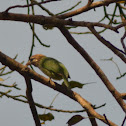 White Cheeked Barbet