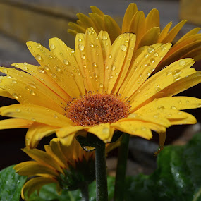 I Love The Sunshine After It Rains by Ed Hanson - Flowers Single Flower ( nature, green, yellow, close-up, flower )