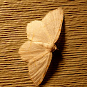 Lesser Maple Spanworm Moth