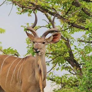 kudu eat mouth.JPG
