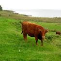Cow. Vaca.
