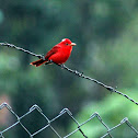 Piranga Roja (Macho) - Summer Tanager (Male)