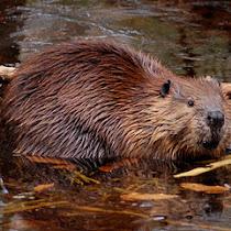 Mammals of the Vassar Preserve