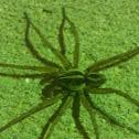 Rabid Wolf Spider