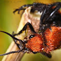 Red velvet ant or Cow Killer Ant