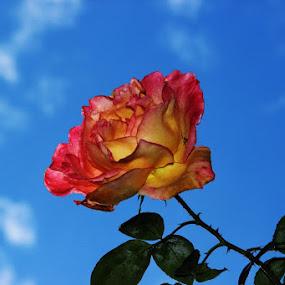 Just Rose.... by Guru Prasad - Flowers Single Flower ( love, rose, flowers, flower,  )