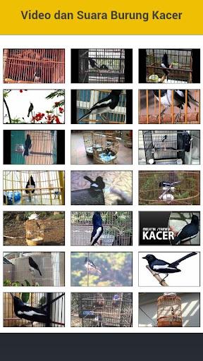 Video dan Suara Burung Kacer