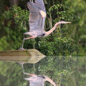 Great Blue Heron in flight by Toni Haas - Animals Birds ( bird, great blue heron, in flight )