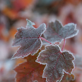 Frosty Leaves by Susan Fries - Nature Up Close Leaves & Grasses ( tree, closeup image, nature, frost, leaves, maple leaves, frosty,  )