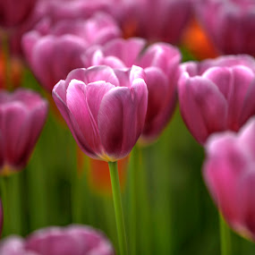 pink velvet tulips by Marjorie Speiser - Flowers Flower Gardens ( green, pink, tulips, garden, velvet,  )