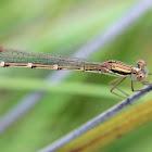 Wandering Ringtail - female
