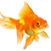 Goldfish Live Wallpaper