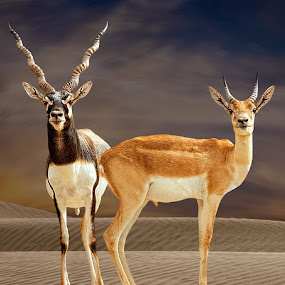 Black Bucks-Father & Son by Nayyer Reza - Animals Other Mammals ( pakistan, desert, cholistan, color, black bucks, couple, nayyer, male black bucks, reza )