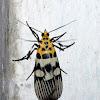 Pyraloidea