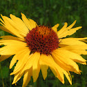 Wild common sunflower