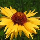 Wild common sunflower