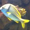 Pork Fish