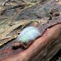 Miller moth caterpillar