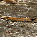 Copperhead Rat Snake