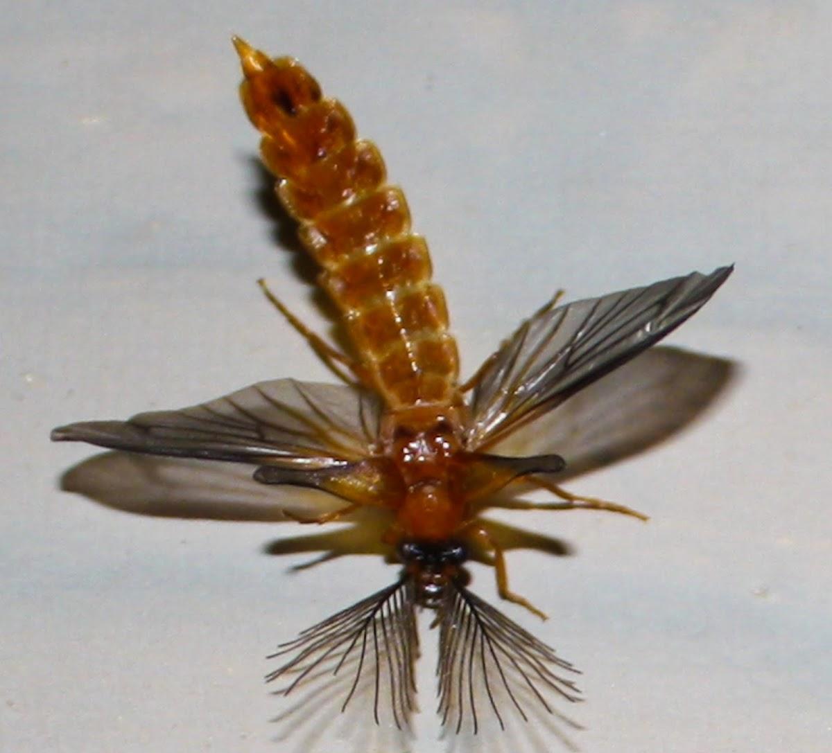 Glowworm (male)