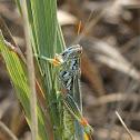 Snakeweed Grasshopper
