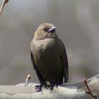 brown headed cowbird female