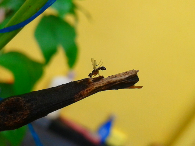 Winged Ants/Flying ants