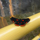 Red bordered pixie butterfly