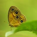 Sulawesi Bushbrown