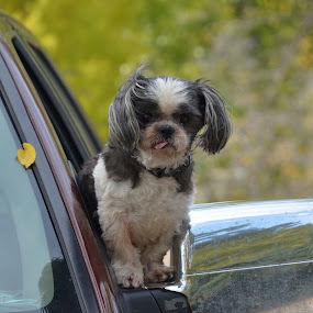 hot rod by Jody Jedlicka - Animals - Dogs Portraits ( people, crowd, humanity, society )