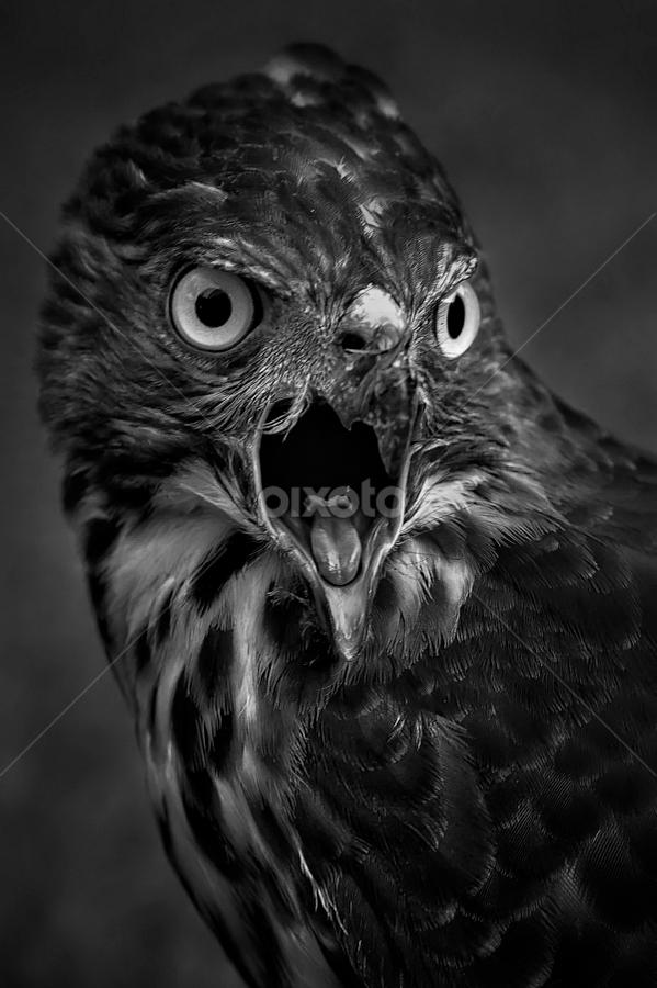 by Lim Darmawan - Animals Birds ( Redtal Hawk, Redtail Hawk contest )