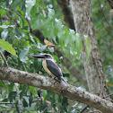 Great-billed Kingfisher / Pekaka bua bua